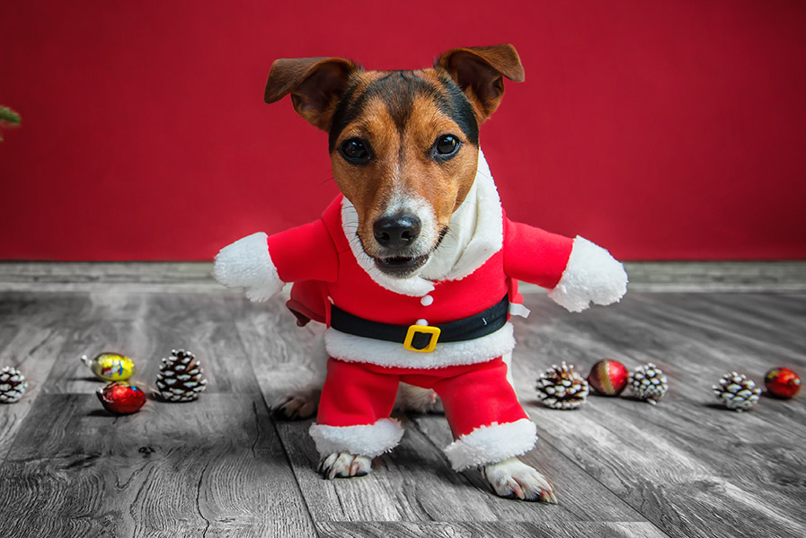 JACK RUSSELL TERRIER IN CHRISTMAS