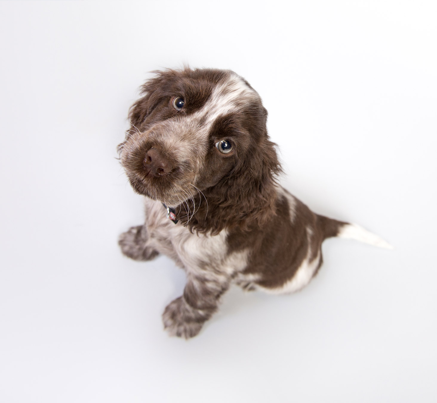 cocker-spaniel-puppy