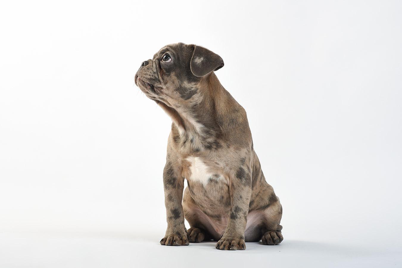 french-bulldog-puppu