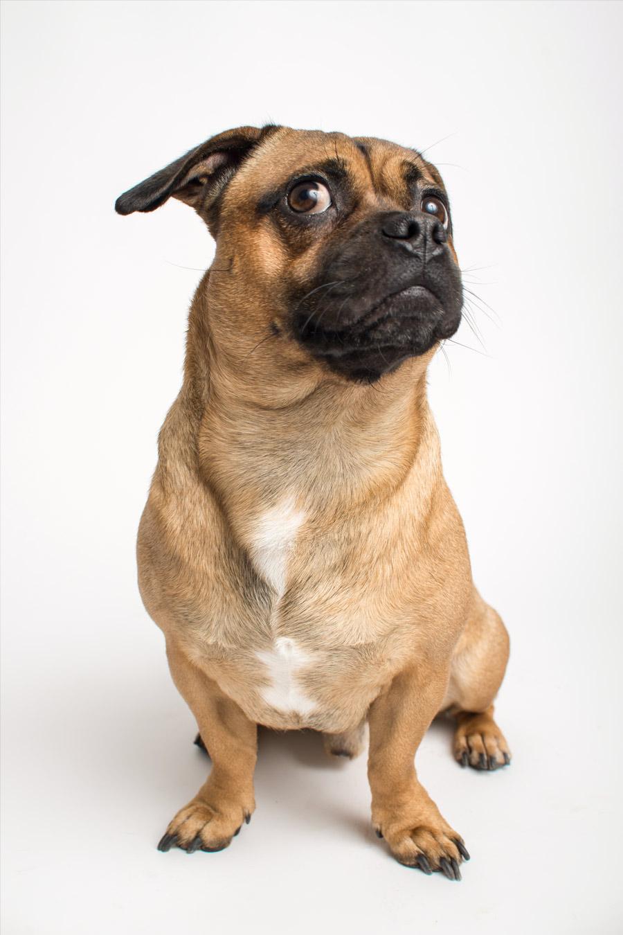 mops-dog