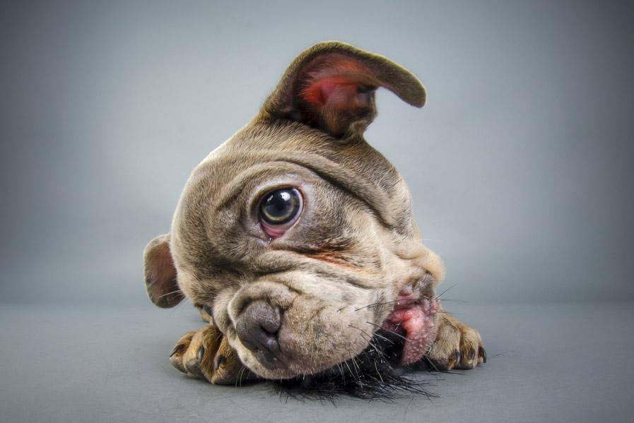 french-bulldog-puppy-ball