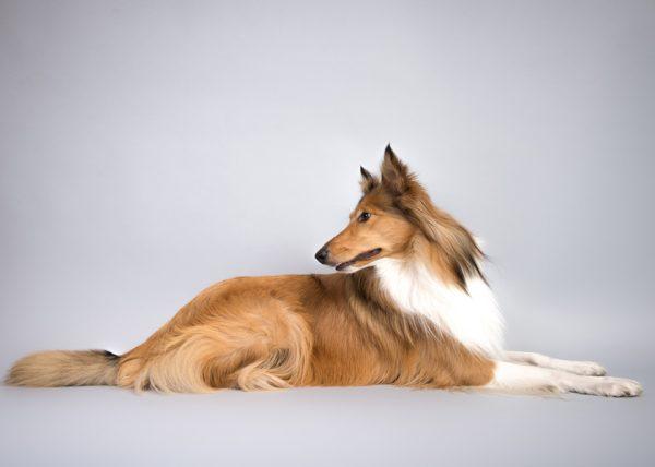 collie-dog