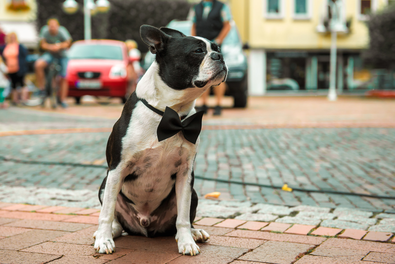 french-bulldog-wedding