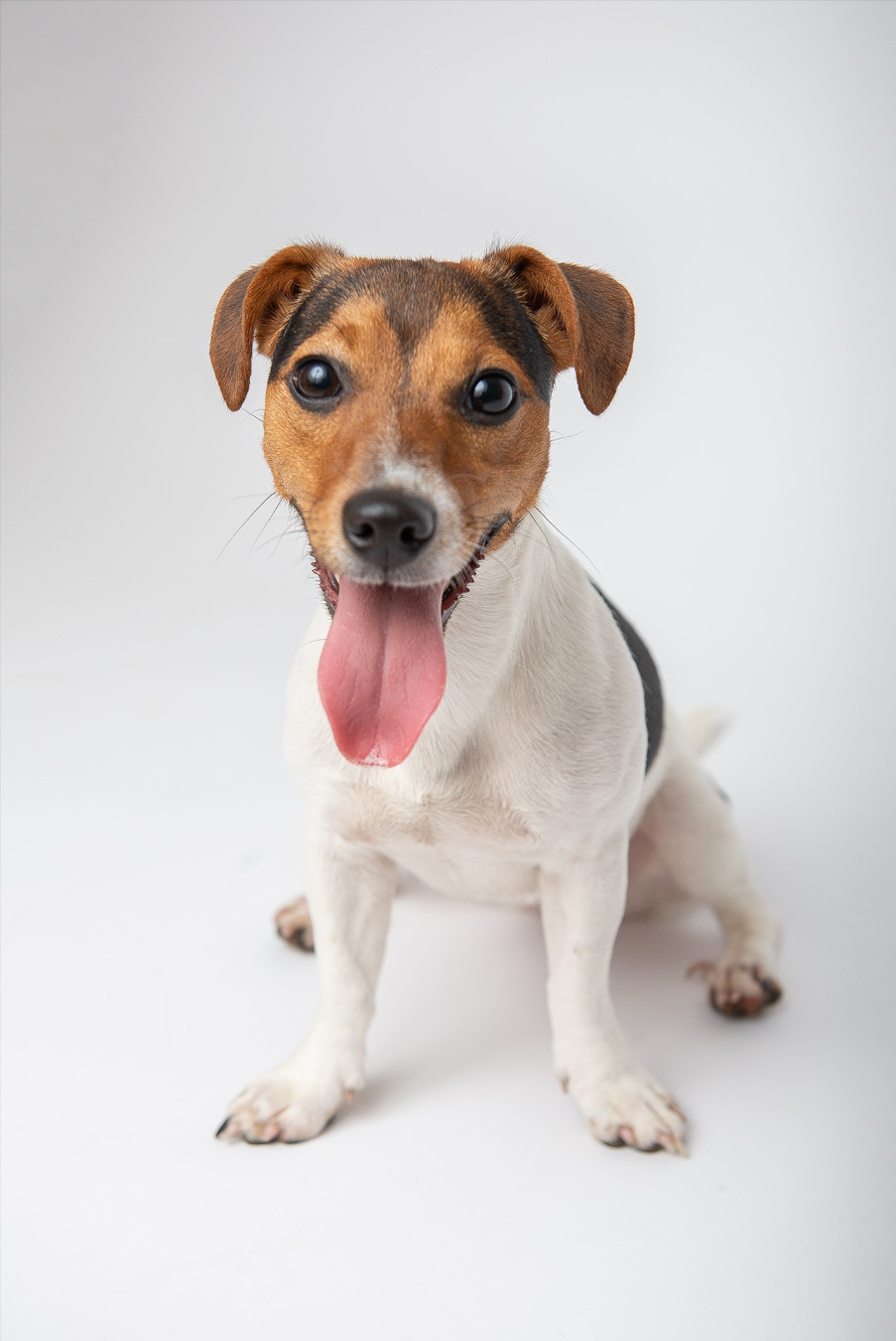 jack-russel-white-background