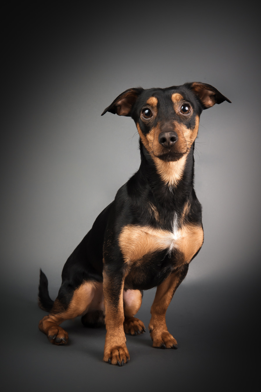 jack-russell-mix-2