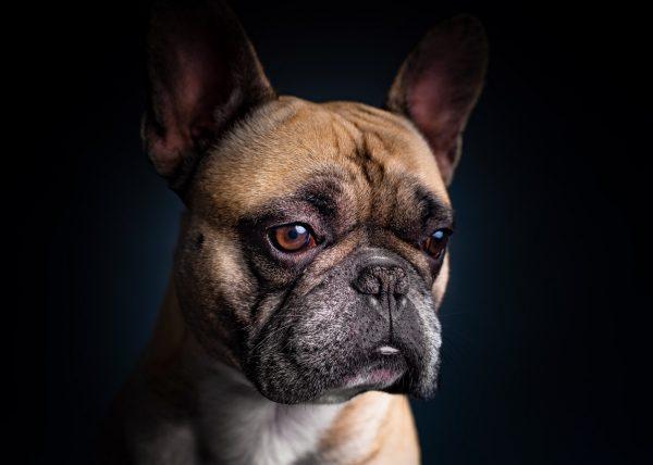french-bulldog-oksar